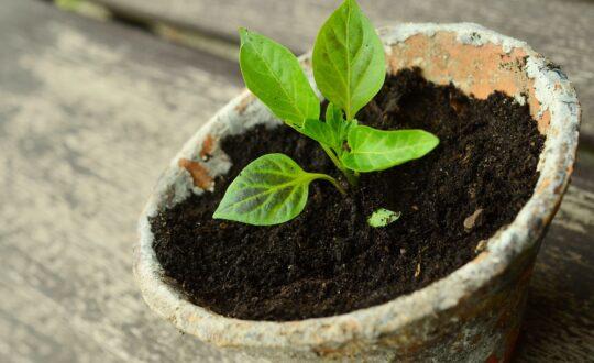semis, semis économique, semis écologique, préparation du potager