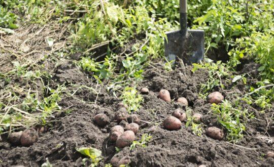 potager naturel patate